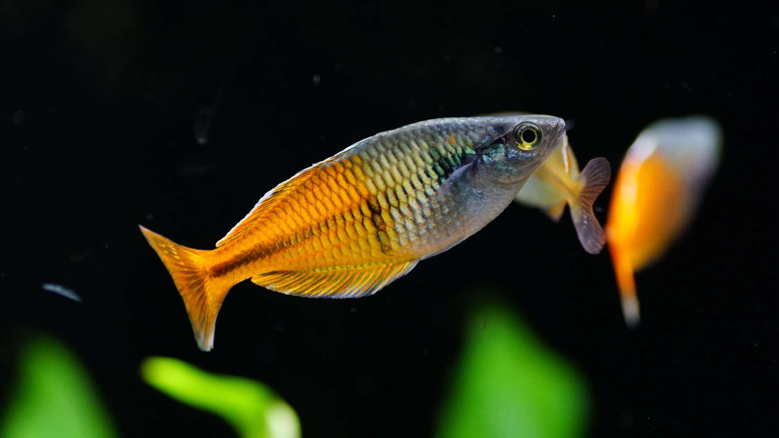 Regenbogen- & Ährenfische