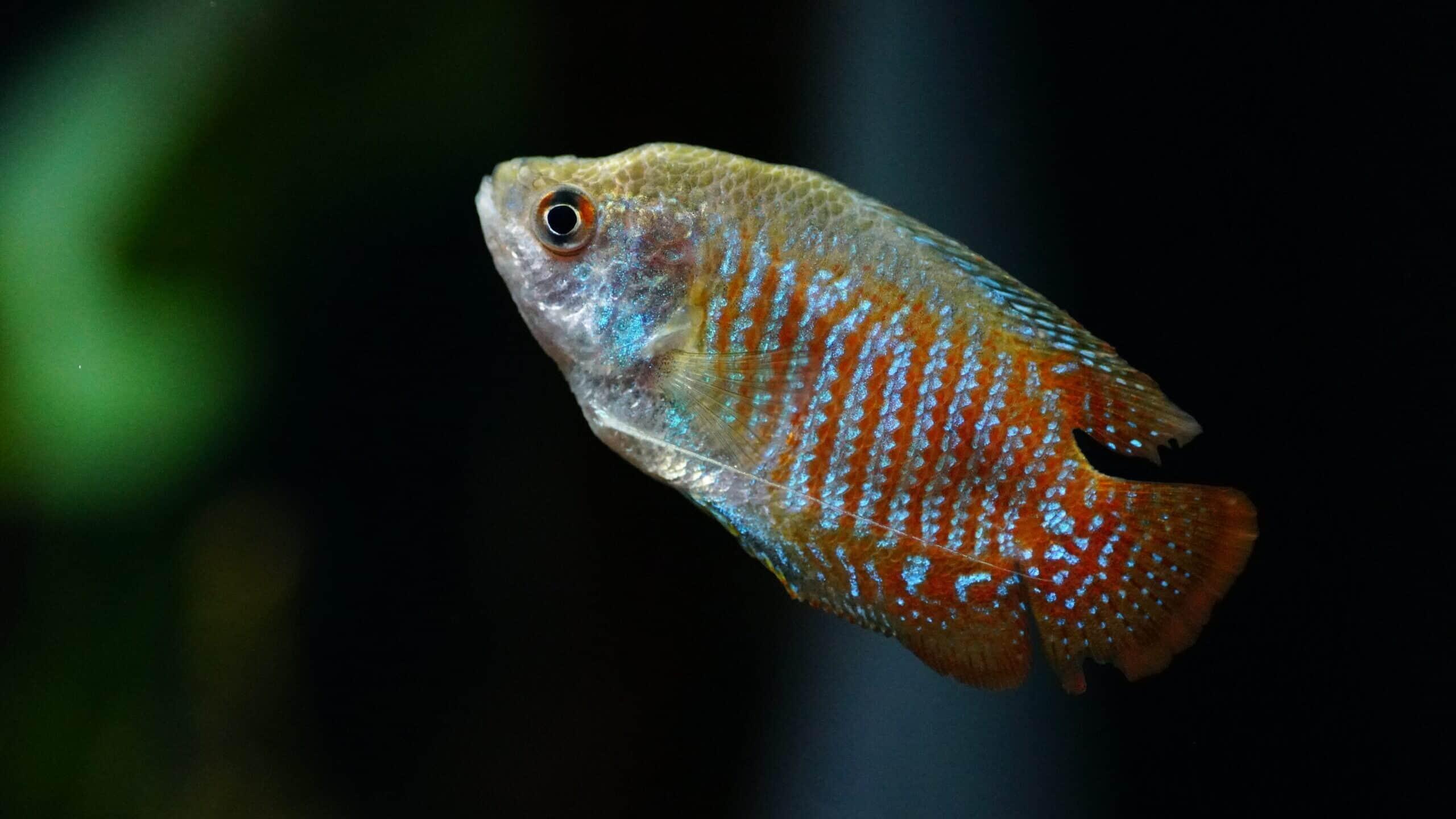Faden- & Labyrinthfische
