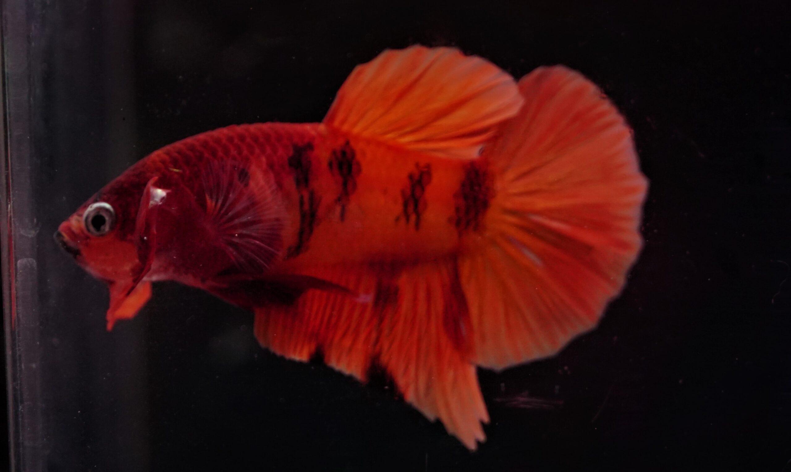 Kampffische